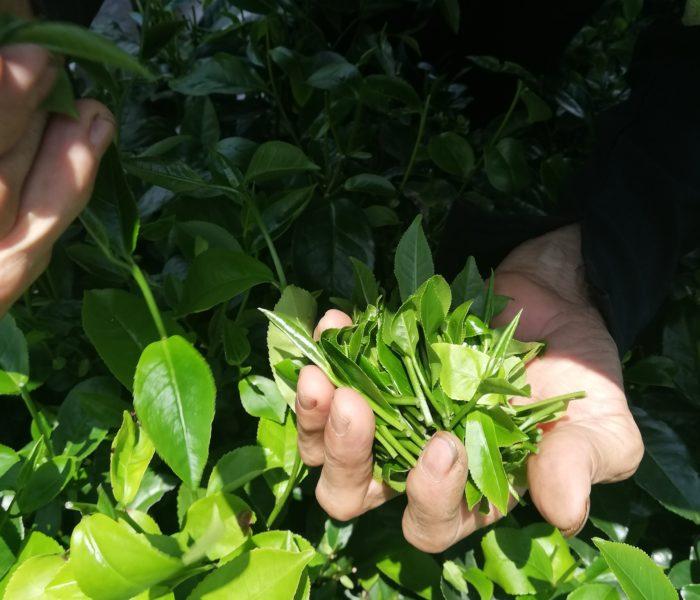 Mon voyage dans les jardins de thé au Viêtnam