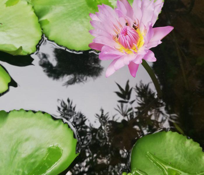 La magie du thé au lotus